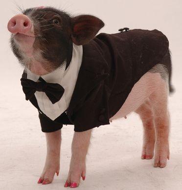 麝香迷你猪虽然由日本进口,但原产地在荷兰,不过在日本经过改良才成为超迷你麝香猪。迷你麝香猪一胎仅能产下两只,生下来体长仅八、九公分,重量约半公斤,半年后,即可长成成猪,但体型也不会超过三十公分,因体型小,走起路来,像穿了高跟鞋般,一蹬一蹬地,模样十分逗趣。