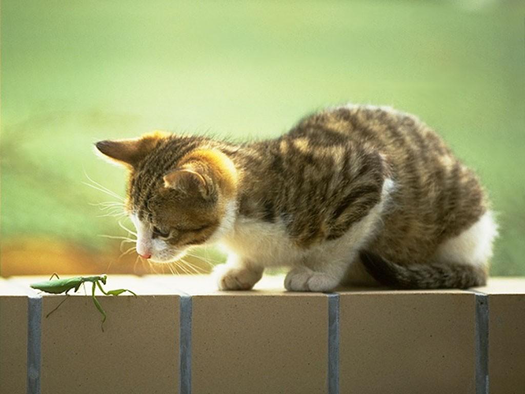 猫眼中的天真无邪 暴多可爱猫咪壁纸图片3